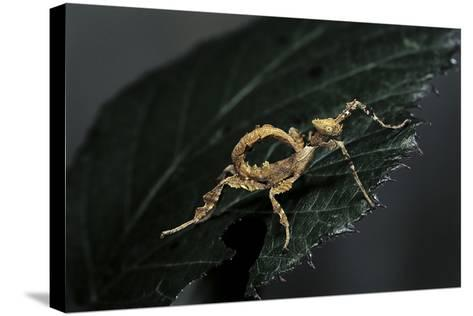 Extatosoma Tiaratum (Giant Prickly Stick Insect) - Larva-Paul Starosta-Stretched Canvas Print
