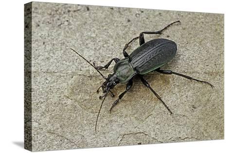Carabus Morbillosus Cheminorum (Ground Beetle)-Paul Starosta-Stretched Canvas Print