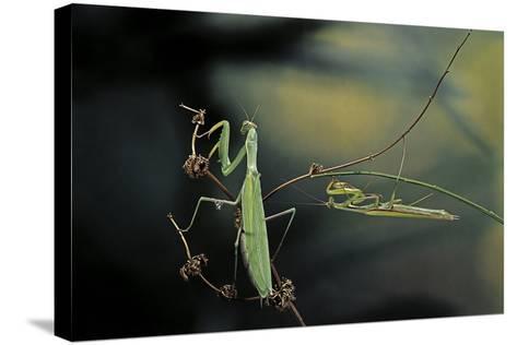 Mantis Religiosa (Praying Mantis) - Male with Female-Paul Starosta-Stretched Canvas Print