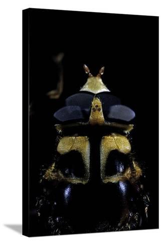 Milesia Crabroniformis (Hoverfly) - Portrait-Paul Starosta-Stretched Canvas Print