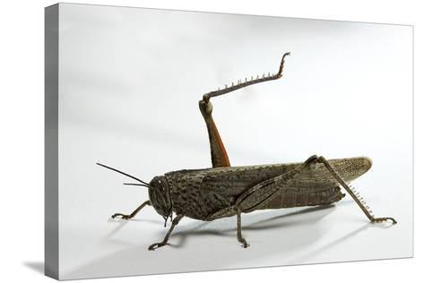 Anacridium Aegyptium (Egyptian Locust)-Paul Starosta-Stretched Canvas Print