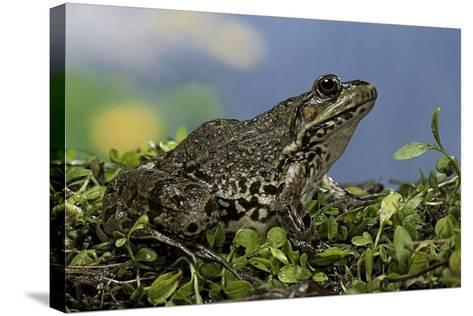Edible Frog-Paul Starosta-Stretched Canvas Print