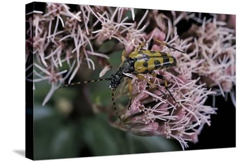 Leptura Maculata (Spotted Longhorn Beetle)-Paul Starosta-Stretched Canvas Print