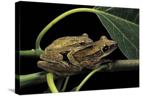 Polypedates Leucomystax (Common Tree Frog, Golden Gliding Frog) - Mating-Paul Starosta-Stretched Canvas Print