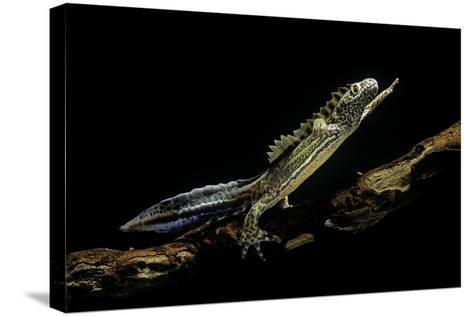 Ommatotriton Vittatus (Southern Banded Newt)-Paul Starosta-Stretched Canvas Print