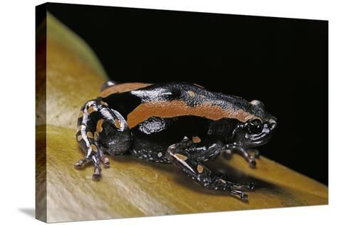 Phrynomantis Bifasciatus (Banded Rubber Frog)-Paul Starosta-Stretched Canvas Print
