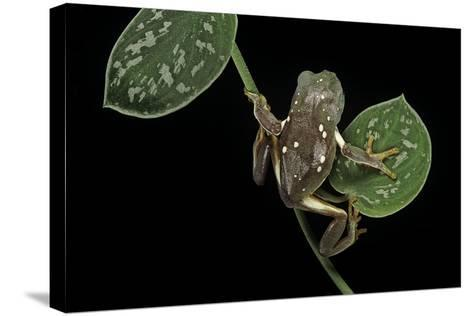 Pachymedusa Dacnicolor (Mexican Leaf Frog)-Paul Starosta-Stretched Canvas Print
