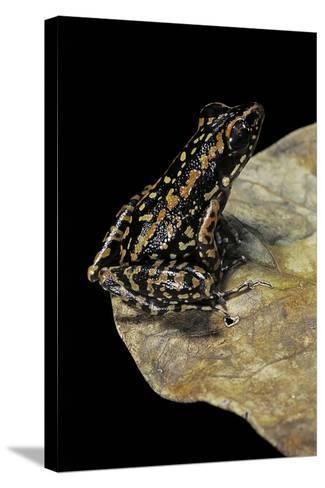 Hylarana Signata (Spotted Stream Frog)-Paul Starosta-Stretched Canvas Print