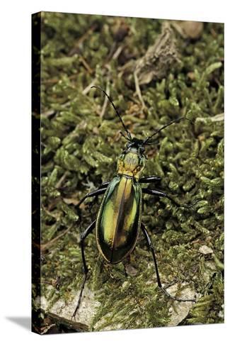 Carabus Splendens Lapurdanus (Ground Beetle)-Paul Starosta-Stretched Canvas Print