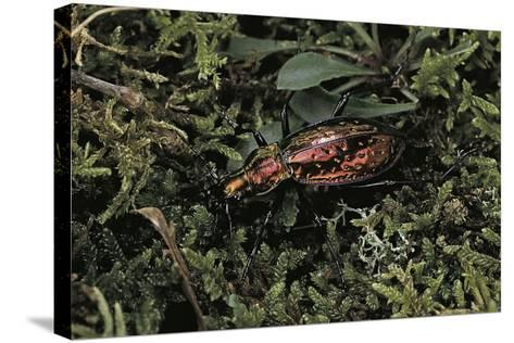 Carabus Rutilans (Ground Beetle)-Paul Starosta-Stretched Canvas Print