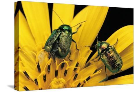 Cryptocephalus Hypochaeridis (Green Leaf Beetle)-Paul Starosta-Stretched Canvas Print