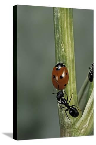 Coccinella Septempunctata (Sevenspotted Lady Beetle) - with Ant-Paul Starosta-Stretched Canvas Print