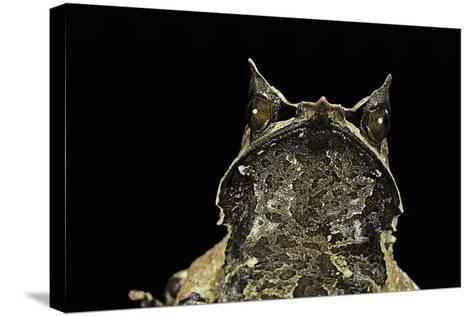 Megophrys Nasuta (Malayan Horned Frog, Long-Nosed Horned Frog, Malayan Leaf Frog)-Paul Starosta-Stretched Canvas Print