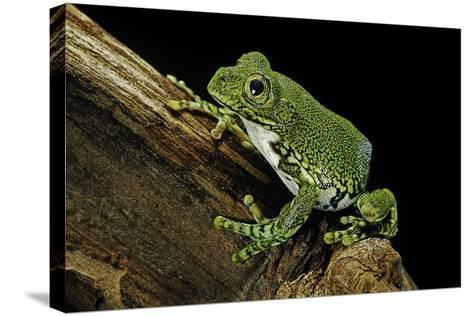 Leptopelis Vermiculatus (Amani Forest Treefrog, Big-Eyed Treefrog)-Paul Starosta-Stretched Canvas Print