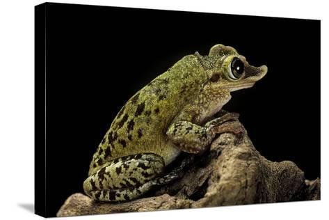 Triprion Spatulatus (Shovel-Nosed Treefrog)-Paul Starosta-Stretched Canvas Print