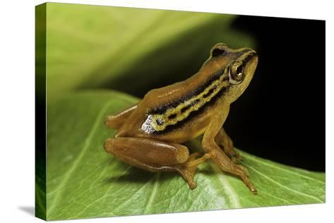 Hyperolius Puncticulatus (Spotted Reed Frog)-Paul Starosta-Stretched Canvas Print