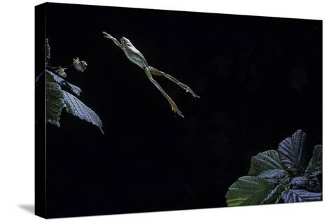 Hyla Meridionalis (Mediterranean Tree Frog) - Leaping-Paul Starosta-Stretched Canvas Print