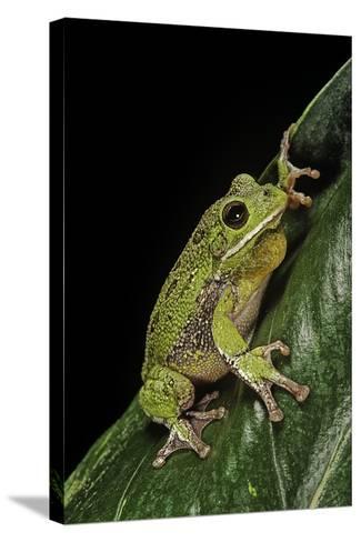 Hyla Gratiosa (Barking Treefrog)-Paul Starosta-Stretched Canvas Print