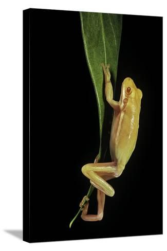 Hyla Cinerea Albino (American Green Tree Frog)-Paul Starosta-Stretched Canvas Print