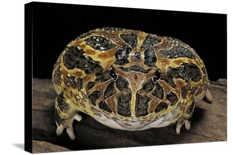 Ceratophrys Ornata (Ornate Horned Frog, Escuerzo)-Paul Starosta-Stretched Canvas Print