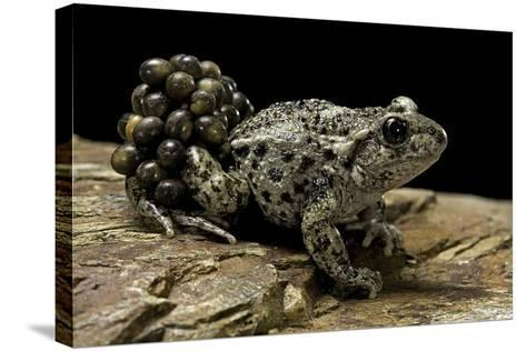 Alytes Obstetricans (Common Midwife Toad) - Male with Eggs-Paul Starosta-Stretched Canvas Print
