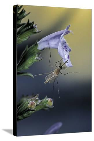 Culex Pipiens (Common House Mosquito) - on a Flower-Paul Starosta-Stretched Canvas Print