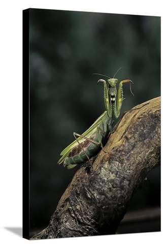 Mantis Religiosa (Praying Mantis) - in Defensive Posture, Threat Display-Paul Starosta-Stretched Canvas Print