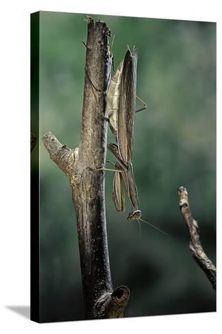 Mantis Religiosa (Praying Mantis) - Female Ready to Lay-Paul Starosta-Stretched Canvas Print
