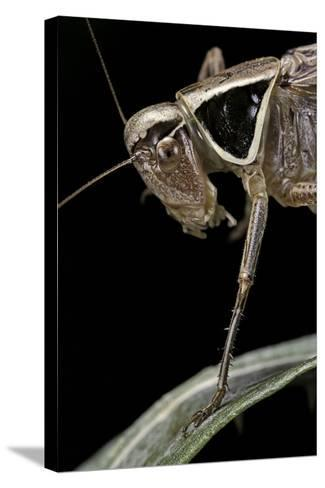 Metrioptera Roeselii (Roesel's Bush-Cricket) - Portrait-Paul Starosta-Stretched Canvas Print