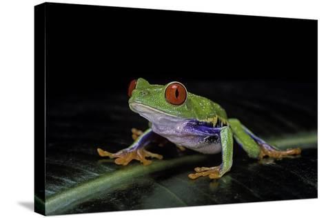 Agalychnis Callidryas (Red-Eyed Treefrog)-Paul Starosta-Stretched Canvas Print