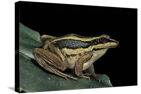 Hylarana Erythraea (Common Green Frog, Leaf Frog)-Paul Starosta-Stretched Canvas Print