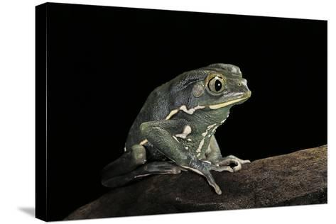 Phyllomedusa Sauvagii (Waxy Monkey Leaf Frog)-Paul Starosta-Stretched Canvas Print