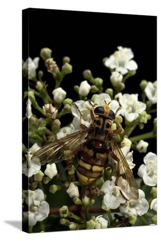 Milesia Crabroniformis (Hoverfly)-Paul Starosta-Stretched Canvas Print