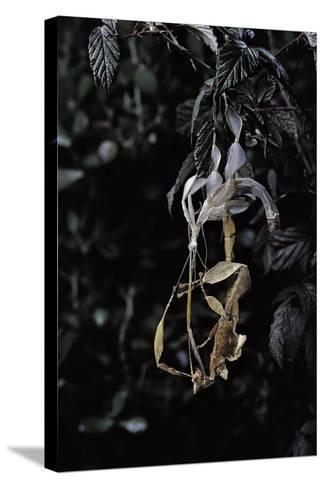 Extatosoma Tiaratum (Giant Prickly Stick Insect) - Emerging-Paul Starosta-Stretched Canvas Print