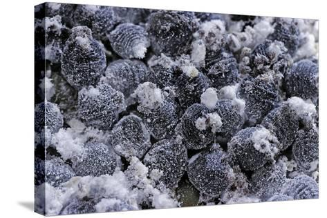 Dactylopius Coccus (Opuntia Cochineal Scale)-Paul Starosta-Stretched Canvas Print