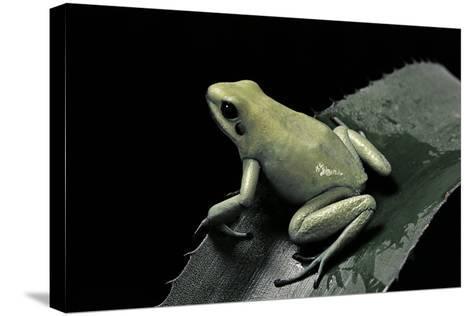 Phyllobates Terribilis F. Mint (Golden Poison Frog)-Paul Starosta-Stretched Canvas Print