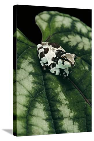 Phrynohyas Resinifictrix (Amazon Milk Frog) - Young-Paul Starosta-Stretched Canvas Print