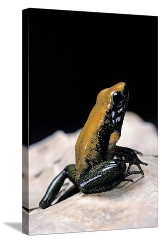 Phyllobates Bicolor (Black-Legged Dart Frog)-Paul Starosta-Stretched Canvas Print