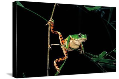 Phyllomedusa Hypochondrialis Azurea (Northern Orange-Legged Leaf Frog)-Paul Starosta-Stretched Canvas Print