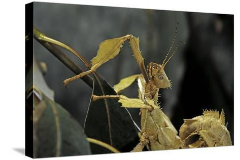 Extatosoma Tiaratum (Giant Prickly Stick Insect)-Paul Starosta-Stretched Canvas Print
