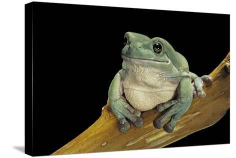 Litoria Caerulea (Dumpy Treefrog)-Paul Starosta-Stretched Canvas Print