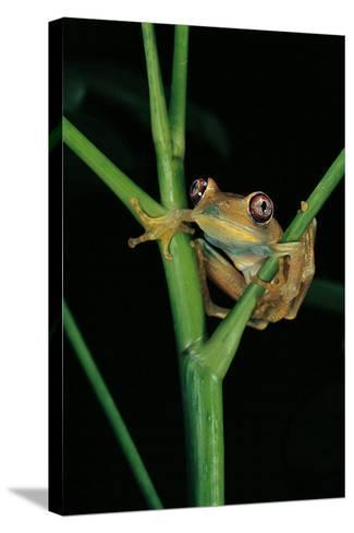Leptopelis Barbouri (Barbour's Tree Frog)-Paul Starosta-Stretched Canvas Print