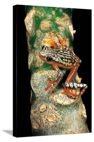 Hyperolius Puncticulatus Amani (Spotted Reed Frog)-Paul Starosta-Stretched Canvas Print