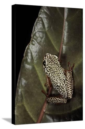 Hyperolius Marmoratus (Marbled Reed Frog, Painted Reed Frog); Multicolored-Paul Starosta-Stretched Canvas Print
