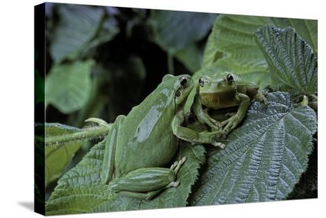 Hyla Meridionalis (Mediterranean Tree Frog) - Pair-Paul Starosta-Stretched Canvas Print