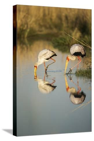 Yellow Billed Storks, Moremi Game Reserve, Botswana-Paul Souders-Stretched Canvas Print