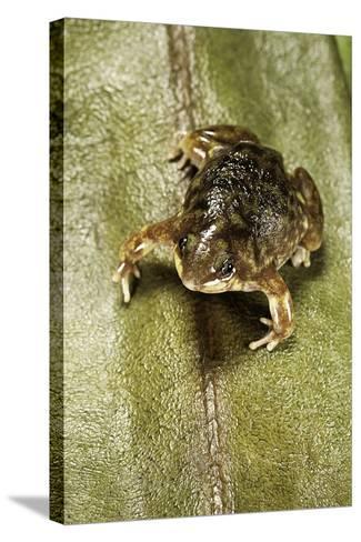 Hemisus Marmoratus (Shovel-Nosed Frog)-Paul Starosta-Stretched Canvas Print