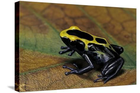 Dendrobates Tinctorius (Dyeing Poison Dart Frog)-Paul Starosta-Stretched Canvas Print