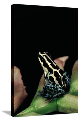 Ranitomeya Ventrimaculata (Reticulated Poison Frog)-Paul Starosta-Stretched Canvas Print