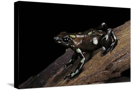 Dendrobates Auratus F. Tobago (Green and Black Poison Dart Frog)-Paul Starosta-Stretched Canvas Print